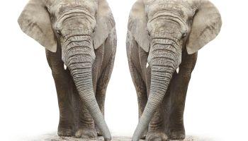 African elephants (Loxodonta africana) on a white background.