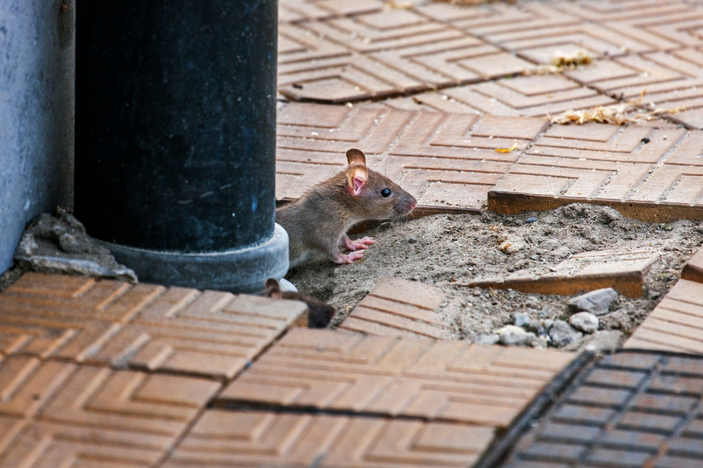 Juvenile brown rat / Common rat (Rattus norvegicus) emerging from drainpipe on pavement