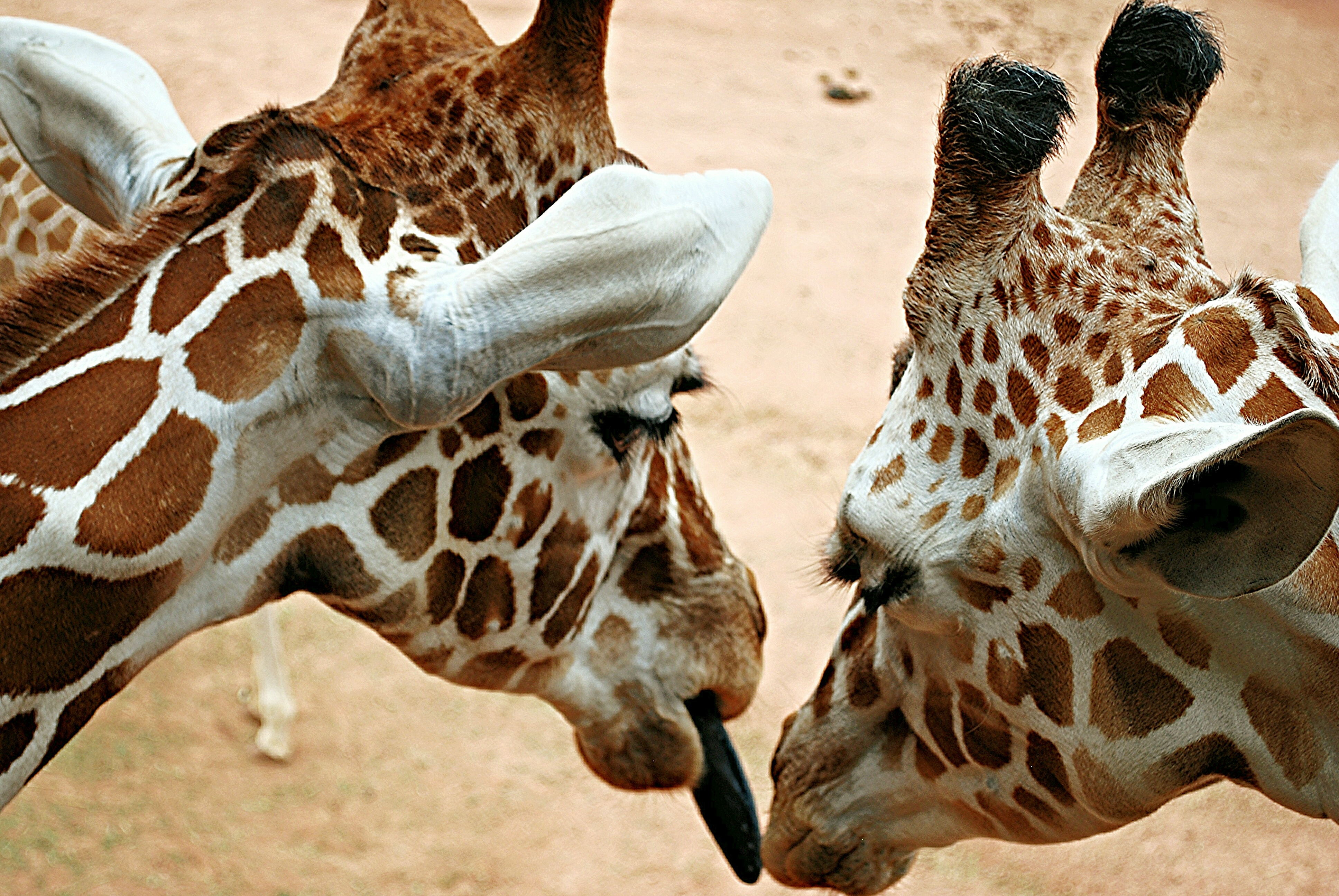 Close-Up Of Giraffes Outdoors